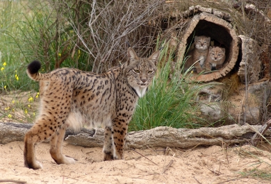 Iberian Lynx with her cubs