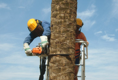 Grupo Tragsa operatives performing cutting down palm tree afected by the red palm weevil